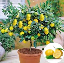 USA-Seller 50Pcs Rare Lemon Tree Indoor Outdoor Available Heirloom Fruit Seeds