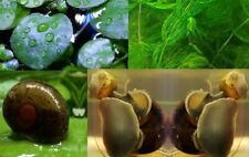 5 Ramshorn and 1 Mystery Snails, 5 Hornworts and 3 Frogbits