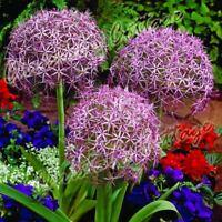 3 ALLIUM CHRISTOPHII BULB STAR OF PERSIA CORM AUTUMN GARDEN SPRING PURPLE FLOWER