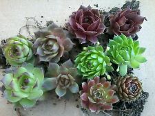 Hens and chicks plants 10 rootted cuttings 5 varieties,