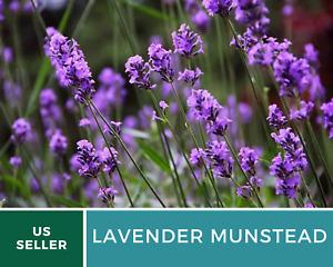 Lavender, Munstead - 30 Seeds - Fragrant Herb - Mosquito Repellent - NonGMO