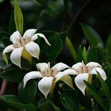 Rothmannia Capensis - Wild Gardenia - Rare Tropical Plant Tree Seeds (5)