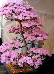 10 Sakura Bonsai Tree Seeds - Japanese Cherry Blossom FREE SHIPPING