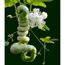 Trichosanthes cucumerina var. anguina Snake Gourd 10 seeds