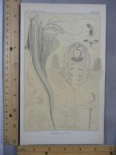 Rare Antique Original VTG Apus Anatomy Chart Plate Illustration Art Print