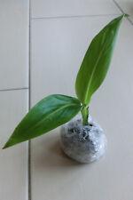 * pianta * Ravenala Madagascariensis, Albero dei viaggiatori, forte pianta giovane