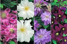 Gefüllte Blüten-Sorten der Clematis (Waldrebe) in 4 Farben als Kletterpflanzen