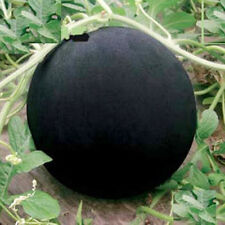 Glass Ball Watermelon Seeds 1 Pack 10 Seeds Delicious Fruit Seed Hot B036