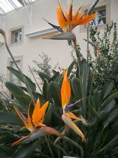 *PFLANZE* Strelitzia reginae, Paradiesvogelblume, kräftige Jungpflanze