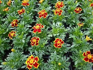 X6 French Marigold *Durango Bee*  *NOT PLUGS*  Garden Ready Bedding Plants