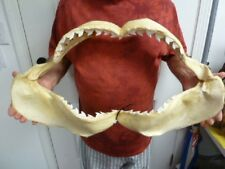 "26"" Tiger SHARK jaw sharks jaws teeth taxidermy collectible Cuvier sj470-12"