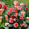 2X Rare Calla Lily Bulbs Perennial Gardening Summer Flower Bulb Roots New. Hot