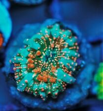 Cs Ad6 Dragon Lady Bounce - Live Coral - Frag - Sps Lps Zoas