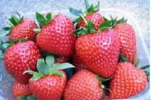 40 x STRAWBERRY VIBRANT BARE ROOTED READY NOW FREE POSTAGE