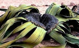 Welwitschia Mirabilis  - 1 Seed, RARE Namibia