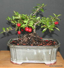 WEEPING CHERRY  BONSAI TREE  FLOWERS PINK ANO YELLOW  REAL CHERRIES
