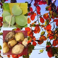Terminalia Catappa Seeds Sea/Tropical Almond, Leaves for Aquarium from Thailand