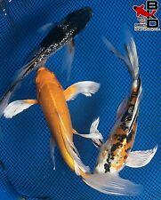 "New listing (3) 6-7"" Butterfly Lot Live Koi Fish Pond Garden Bkd"