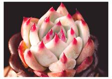 1-cut 5cm Echeveria chihuahuaensis Succulent live Plant Home Garden Flower Rare