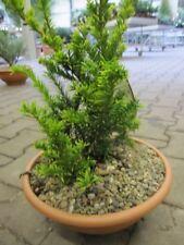 Taxus baccata Semperaurea - Goldeibe Semperaurea 25-30