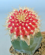 Uebelmannia buiningii f. RUBRA  the most RARE  仙人掌 선인장 Kakteen cactus ตะบองเพชร