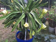 RED Dragon fruit  10x  CUTTINGS from mature,fruiting plants.