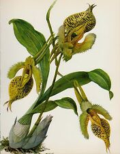 Vintage Botanical Flower Print Yellow ORCHID Art Cottage Decor Catasetum #1918
