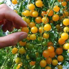 Vegetal tomate GROSELLA Gold Rush 100 semillas más finos