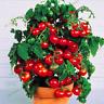100 PCS Seeds Cherry Tomato Plant Organic Fruits Vegetables Garden Bonsai Potted