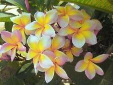 PLUMERIA HAWAIIAN AZTEC GOLD 2 1/2 FOOT TALL has roots & leaves ready to plant