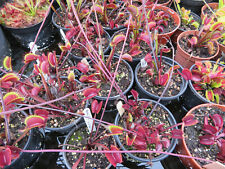 Dionaea Muscipula mixed, Venus Fly Trap.  75 seeds harvested July 2020