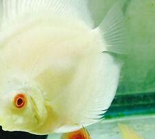 New listing Albino Blue Diamond Discus Fish large
