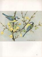 BEAUTIFUL VINTAGE BIRD PRINT ~ BLUE TIT ~