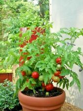 200Pcs-Red Tomato Seeds Bonsai Vegetables Fruits Home Garden Plants Potted Home