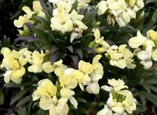 Fairy Flower Seeds, Wallflower White Dame Approx 500 - 1g seeds, Biennial