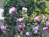 MAGNOLIA  magnolio flor rosa   5 semillas seeds