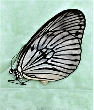 Peleng Rice Paper Butterfly Idea blanchardi kuhni Folded/Papered FAST FROM US