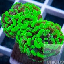 Unique Corals WYSIWYG, 2 head splatter hammer
