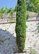 Italian Cypress (Cupressus sempervirens). Fresh 100 seeds of ornamental tree