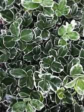 3 X Euonymus Kathy 9cm - Silver And Green Variegated 9cm Pot Good Size Plants