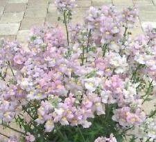 Nemesia - Poetry Lavender Pink - 10 Seeds