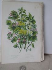 Vintage Print,Yellow Weasel Snout,Plants,Great Britian,Pratt