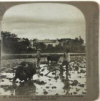 1909 Natives Water Buffalo Ploughing Mud Philippine Islands Stereoview Photo