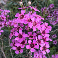 Geraldton Wax Seed Excellent Pink Cut Flower Long Vase Life Drought Tolerant
