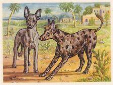 26/656 SAMMELBILD  - DER AFRIKANISCHE NACKTHUND