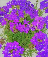 Verbena Imagination Seed Low Fast Growing Annual Free Flowering Drought OK