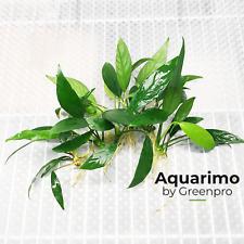 Anubias Lanceolata 6 Loose Tropical Freshwater Aquarium Plant Decoration Tank