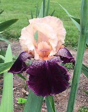 Tall Bearded Iris WENCH Rhizome • Pre-Sale • Perennial Plant Bulb