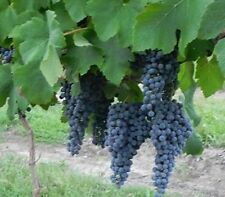 Pinot Noir Wine Grape Vine 3 gallon Live Plant Home Garden Easy to Grow Grapes