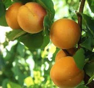 3 x Apricot tree seeds (prunus armenaica)